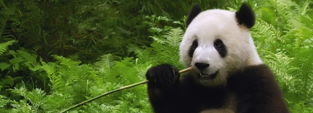 Giant Panda Eating Bamboo Resized